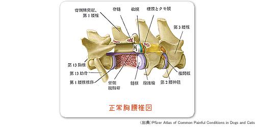 正常胸腰椎図